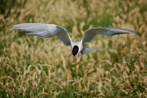 Terns in the Farne Islands